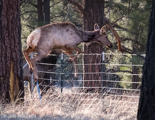 I really didn't have very high expectations for auto focus speed and focus tracking but was pleasantly surprised by the X-Pro2. Not only did it track the elk jumping the fence but it will shoot at 8 fps and has a large buffer for bursts of this type. 200mm (300mm FF equiv) f10, 1/320 sec.